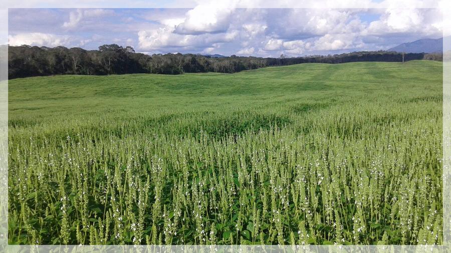 salba, chia, farm, growing, organic